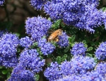finding the extremely bee-popular false-lilac bush
