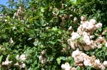 hedge-of-tea-roses
